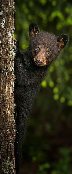cute bear cub #via: www.backcountrygallery.com