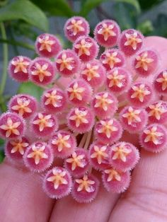 Hoya - VOSKOVKA Unusual Plants, Exotic Plants, Exotic Flowers, Tropical Plants, Amazing Flowers, Wax Flowers, Flowers Nature, Succulents In Containers, Cacti And Succulents