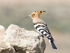 Hoopoe, Wadi Dana, Jordan. One of my favorite birds since learning about them as a kid during my Egypt days!