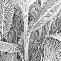 """""""Canna Leaves and Stalk,"""" original figurative photograph by artist Russ Martin (USA) available at Saatchi Art Illustration Vector, Illustrations, White Photography, Nature Photography, Digital Photography, Black And White Sketches, Art Prints Online, White Art, Black White"""