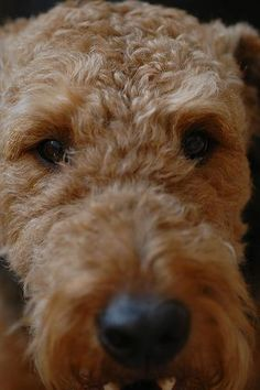 ✨The eyes of an Airedale are the windows to their sweet and wonderful soul✨✨
