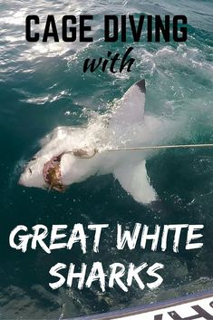 A look at whether or not cage diving with great white sharks is something you should do in South Africa. Complete with photos and video of shark diving. Whale Shark Diving, Cage Diving With Sharks, Sea Diving, Whales, Shark In The Ocean, Animal Experiences, Great White Shark, Shark Week, Future Travel