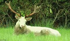 Image result for pwyll-white-hind