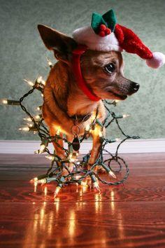 ethereo: Nette Shaff, Christmas Chihuahua