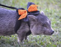 My mini pig, Maci McRib. She is so cute and a sweetie