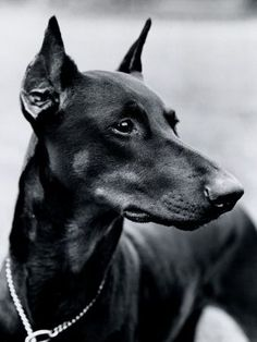 When I get a house with a yard my next dog will be a doberman....and I will name him Bruno!