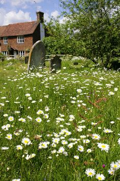 Headcorn, Kent, England  A field of daisies near the headstones of a family home.