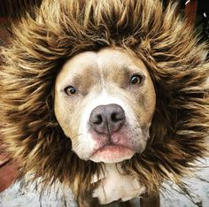 So fierce. | 15 Super Squishable Pit Bulls Who Will Brighten Your Day