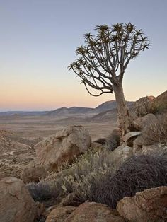 Photographic Print: Quiver Tree (Kokerboom) (Aloe Dichotoma) at Dawn, Namakwa, Namaqualand, South Africa, Africa by James Hager : Lesotho Travel Honeymoon Backpack Backpacking Vacation Africa Off the Beaten Path Budget Wanderlust Bucket List Landscape Photos, Landscape Photography, Nature Photography, Road Trip, Africa Travel, Romantic Travel, Trees To Plant, Places To Travel, Travel Destinations