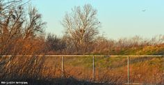 Shot of how far the sycamore tree is from my vantage point. Looks like I captured the northern harrier in this photo on the right. Pete is in the tree, watching the sunset.