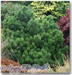 Genus: Pinus Species: nigra Hornbrookiana