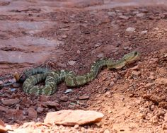 Mojave Desert, Central California, All About Animals, Reptiles, Utah, Arizona, Deserts, Southern, Green
