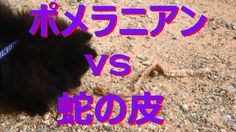 【富山散策物語】 ポメラニアン「なっくん」 vs 蛇の皮の死闘!