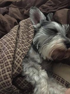 Ranked as one of the most popular dog breeds in the world, the Miniature Schnauzer is a cute little square faced furry coat. Raza Schnauzer, Miniature Schnauzer Puppies, Schnauzers, Schnauzer Puppy, Puppies And Kitties, Cute Puppies, Pet Dogs, Doggies, Fox Terriers
