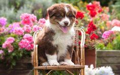 Herunterladen hintergrundbild puppy, australian shepherd, aussie, geranium, dogs