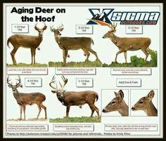 Deer ages