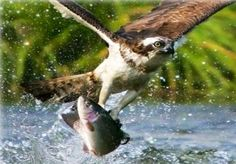 """The Osprey doinf the 'fish dance"""" article at Pine Creek Style, pinecreekstyle.blogspot.com"""