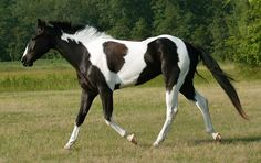 Paint Horse Breeds