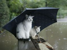 How funny is this photograph? Two cats sitting in the rain underneath a big umbrella waiting for the Ark to take them away from the flood Crazy Cat Lady, Crazy Cats, I Love Cats, Cute Cats, Funny Kitties, Cat Umbrella, Black Umbrella, Animal Pictures, Funny Pictures