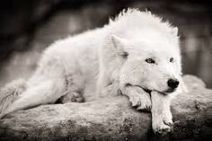 white wolf lying down with chin on paws - Google Search