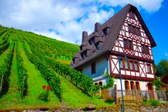 vineyards in Bacharach, Germany
