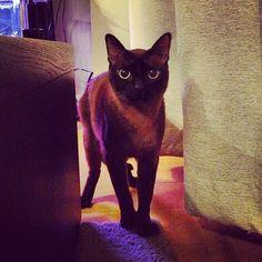 #cat #burmese #ねこ  http://t.co/vYfVhghV