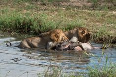 After attacking and driving the hippo into deep water, the pair of lions play a waiting game, lying still on nearby rocks for two hours before the hippo ventures out. Description from forums.shoryuken.com. I searched for this on bing.com/images