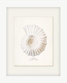 Nautilus zeeschelp