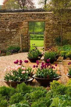 RICKYARD BARN GARDEN, NORTHAMPTONSHIRE: GRAVEL AND HORNTON STONE TERRACE WITH COPPER CONTAINERS PLANTED WITH TULIP 'APRICOT BEAUTY', TULIP 'BLACK HERO' AND TULIP 'NEGRITA'