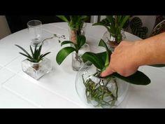 Cultivo de Orquídeas na água. Dica bafo - YouTube
