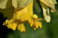 Normally white, this crab spider has the ability to turn yellow which is a perfect camouflage as she sits on the yellow daffodil. Crab Spider, Spiders, Daffodils, Camouflage, Yellow, Color, Military Camouflage, Spider, Colour