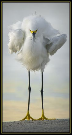 Snowy Egret - Little Estero Critical Wildlife Area. - Florida - Gregory Wagner
