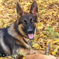 Enjoying Fall  Featured Account @germanshepherddog_lindiwe  #gsdsofigworld #gsd…
