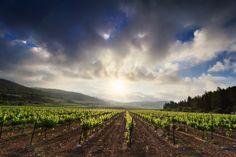 Vineyards by Bar Artzi on 500px