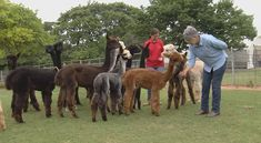 You'll Never Forget A Visit To This One Of A Kind Alpaca Farm In Oklahoma
