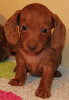 Red Dapple Miniature Dachshund puppies in CO, AL, AZ, AR, CA, CT, DE, FL, GA, ID, IL, IN, IA, KS, KY, LA, ME, MD, MA, MI, MN, NS, MO, MT, NE, NV, NH, NJ, NM, NY