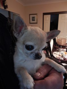 What precious baby My Angel Teacup Chihuahua, Chihuahua Puppies, Animals And Pets, Funny Animals, Cute Animals, Chiwawa, Kittens And Puppies, Funny Animal Pictures, Puppys