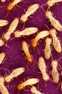Termite Temporal range: 228–0Ma PreЄЄOSDCPTJKPgN Late Triassic - Recent Coptotermes formosanus shiraki USGov k8204-7.jpg Formosan subterranean termite soldiers (red colored heads) and workers (pale colored heads). Scientific classification Kingdom:	Animalia Phylum:	Arthropoda Class:	Insecta Subclass:	Pterygota Infraclass:	Neoptera Superorder:	Dictyoptera Order:	Blattodea Infraorder:	Isoptera