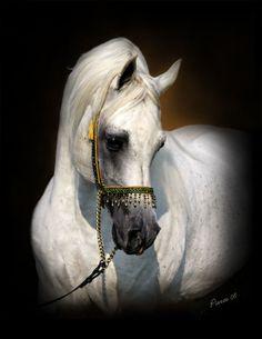 VP Regal Heir (El Hilal x Bint Sammara) 1988-2010 grey SE stallion - breeder unknown
