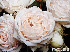 martine guillot rose