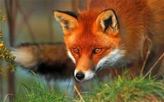 Red Fox Pictures Animals - Yahoo Image Search Results