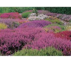 Heather collection from White Flower Farm