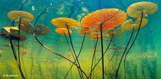 Seerosen im flachen Wasser des Okawango-Deltas in Botswana streben zum lebensnotwendigen Licht. Die skelettartige Struktur der Ständerblätter und deren Wachsbeschichtung widerstehen der heißen Sonne und einem vorzeitigen Welken – Diese Karte hier online kaufen: http://bkurl.de/pkshop-211162 Art.-Nr.: 211162 Widerständler | Foto: © Frans Lanting | Text: Rolf Bökemeier