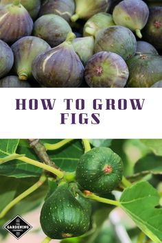 Potager Garden Learn how to grow fig trees, including harvesting tips for figs. Home Vegetable Garden, Fruit Garden, Edible Garden, Veggie Gardens, Backyard Trees, Backyard Farming, Barbacoa, Organic Vegetables, Growing Vegetables