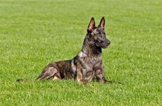 You may be better acquainted with its cousins, the German and Belgian Shepherds, but the Dutch Shepherd is an all-around amazing dog for an active family.