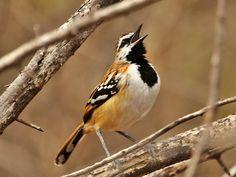 Foto piu-piu (Myrmorchilus strigilatus) por Henrique Moreira   Wiki Aves - A Enciclopédia das Aves do Brasil