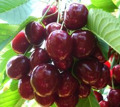Euras | Zdravăn Beautiful Fruits, Cherry, Paradis, Black Magic, Food, Green, Plant, Essen, Meals