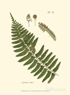 Small Antique Fern V Posters at AllPosters.com