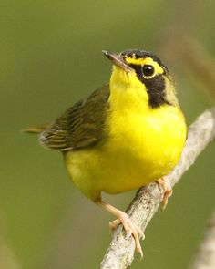 """""""A Kentucky Warbler is bright yellow... she doesn't feign injury, but leads you away from the nest until you are ankle deep in mud or rattlesnakes or both."""""""