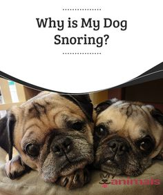 Why is My Dog Snoring?   There are many diseases similar to ours that dogs can suffer. They can also have the anomalies that we have. For example, many are concerned about dogs snoring. But as in our case, when a dog snores, it does so for a reason.